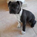 English Bulldog Puppies For Sale Crystal River Fl 323159