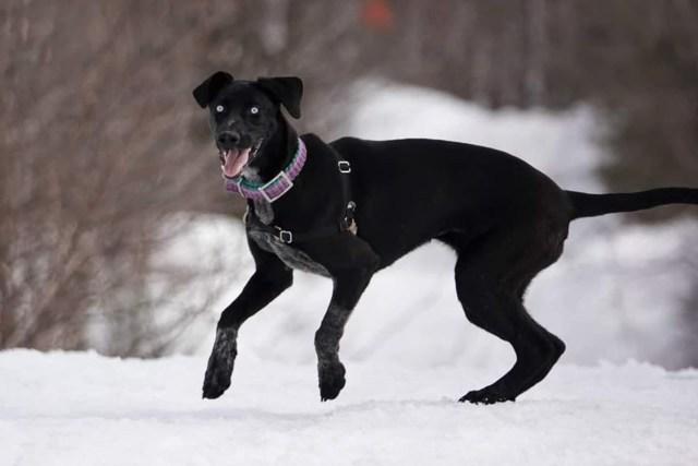eurohound eurohound dog eurohound for sale eurohound puppies for sale eurohound puppy eurohound husky eurohound temperament eurohound price eurohound sled dog