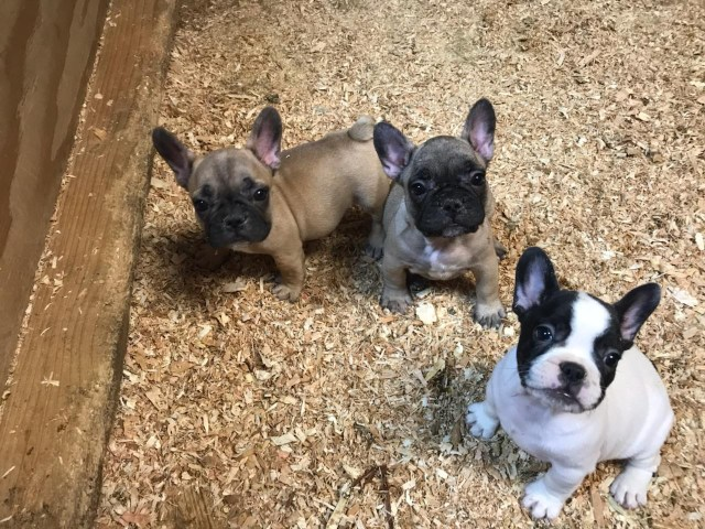 french bulldog puppies for sale | oakley, ca #302648