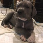 Great Dane Puppies For Sale Rockford Il 288767