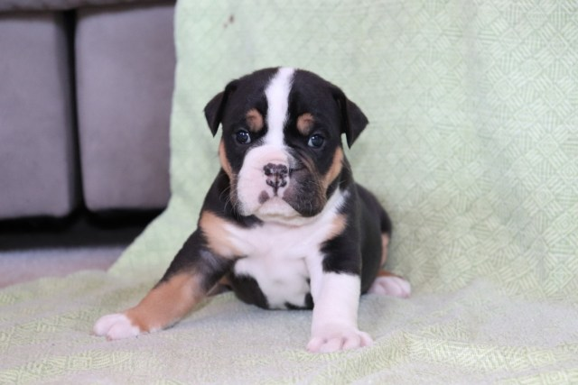 old english bulldog puppies for sale | struble, ia #297976