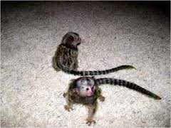 Pensillita Marmoset Animals For Sale San Antonio Tx 81075