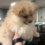 Pomeranian Puppies For Sale Kendallville In 259091