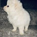 Pomeranian Puppies For Sale Houston Tx 320619