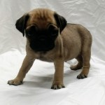 Pug Puppies For Sale Lakewood Ca 309237 Petzlover