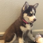 Siberian Husky Puppies For Sale Goshen In 308679