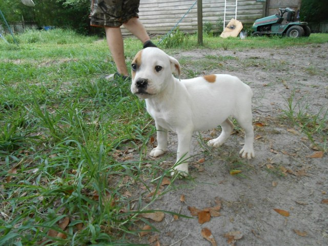 valley bulldog puppies for sale | four oaks, nc #301501