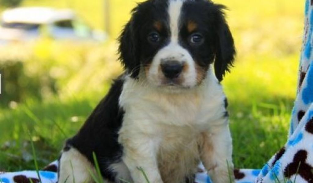 English Springer Spaniel Houston - Pets and Animals Paradise