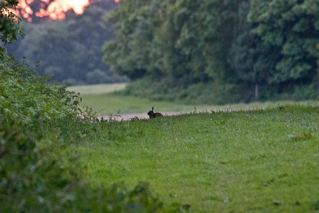 Rabbit silhouetted