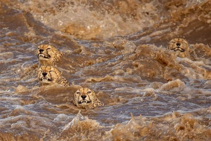Photographer on Safari Catches Five Cheetahs Trying to Cross Croc-Infested River