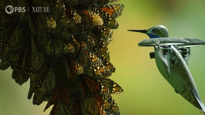 Drone Disguised as Hummingbird Captures Incredible Footage of Monarch Butterfly Swarm