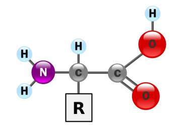 Chaque acide aminé est constitué d'une fonction amine, d'une fonction acide et d'une chaîne latérale (R) variable. © DR.