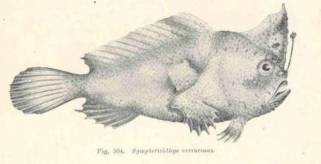 Une représentation de Sympterichthys verrucosus, une espèce cousine de Sympterichthys unipennis, datant de 1921, permet d'imaginer l'aspect de ce poisson à main désormais éteint. © G.Hassell and Son