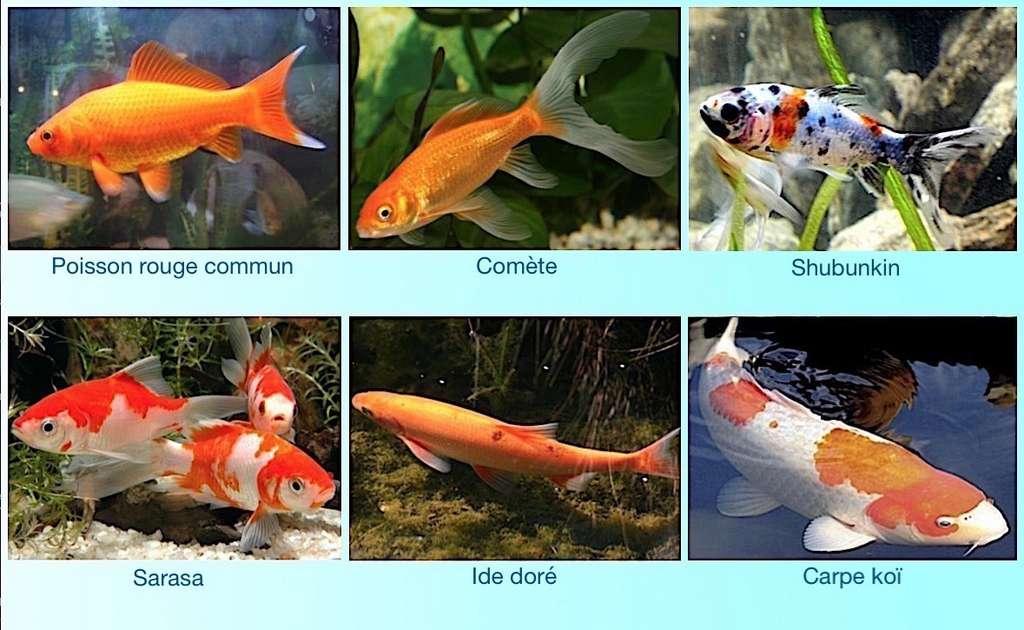 quels poissons choisir pour mon bassin