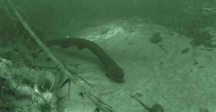 Les rivières d'Amérique du Sud abritent au moins trois espèces différentes d'anguilles électriques, y compris une espèce (Electrophorus voltaï) capable de générer une décharge électrique plus importante que tout autre animal connu. Ici, une anguille de l'espèce Electrophorus varii. © D. Bastos, Muséum d'histoire naturelle Smithsonian