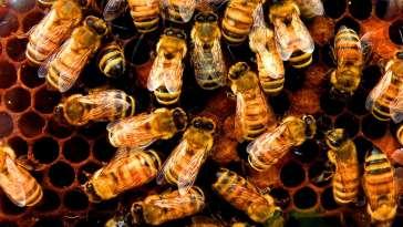 Cette abeille peut se cloner elle-même des millions de fois