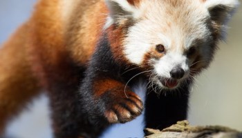 Seattle zoo teams with Firefox to stream video of red panda as cute stress reliever on Election Day