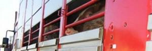 trasporto_mucche
