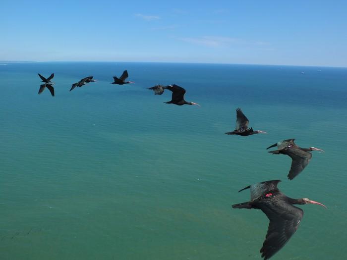 Ibis in volo sull'Adriatico