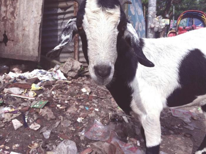 goats bangladesh