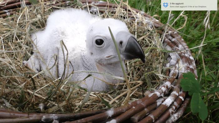 avvoltoio-indiano-