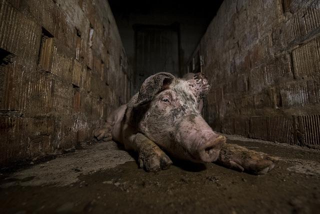 maiali allevamento essere animali