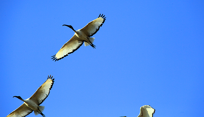 ibis-sacro1