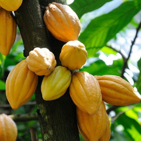 COCOBOD moves to check soil acidity to boost cocoa production