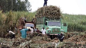 A photo of a sugar cane farm