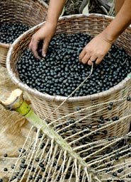 Picking Acai Berries