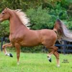 Horse Breed American Saddlebred