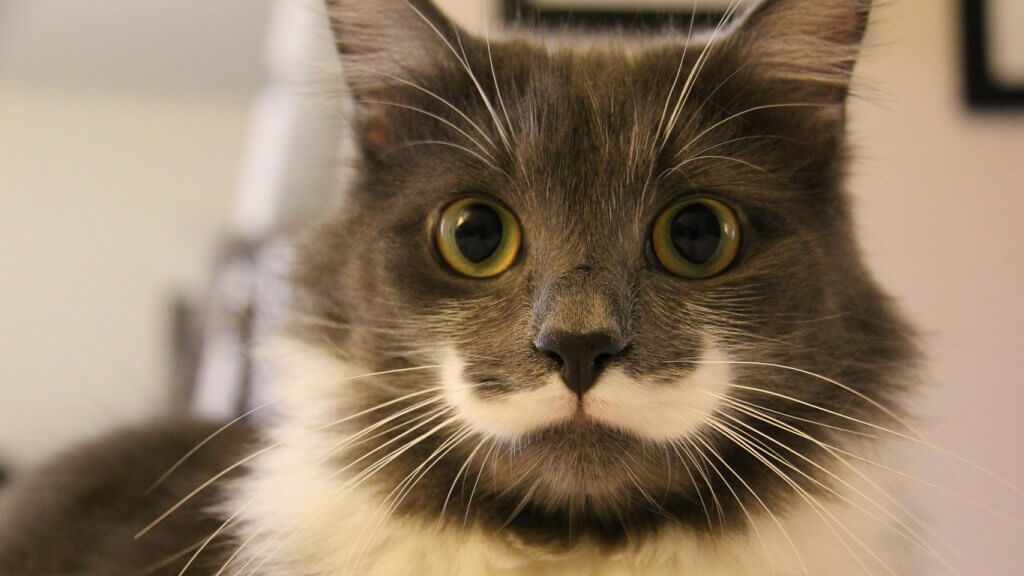 White And Nose Cats Pictures Green Fur Gray Black And Eyes And