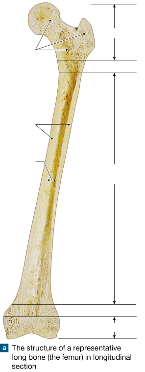 Parts of a daffodil flower. 31 Label The Long Bone - Labels Database 2020
