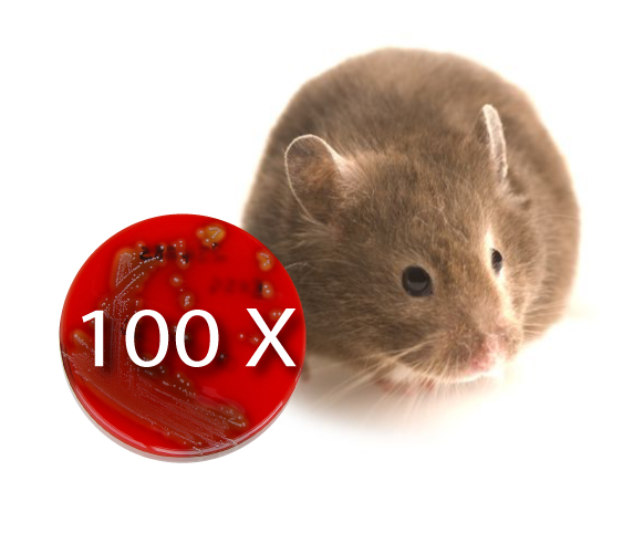 Live Flu Vaccines Increase Infectious Bacteria Counts 100-Fold in Mice
