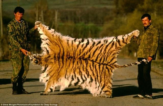 cazadores tigre