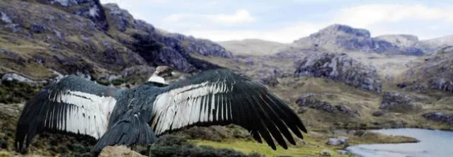 Condor andino