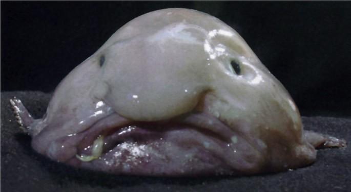 peixe gota