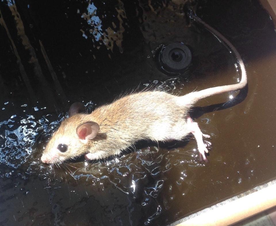 【滅鼠攻略】防鼠工作需持之以恆 專家:一隻出現或陸續有來|香港01|社會新聞