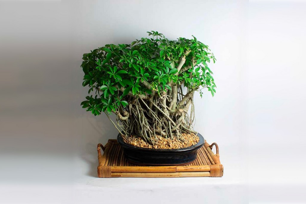 Product Of The Week: Bonsai Trees