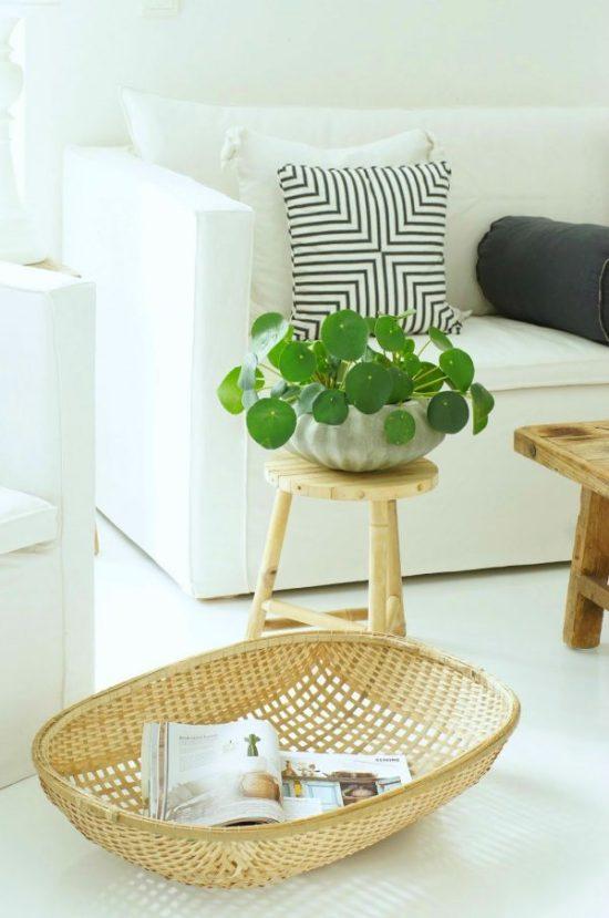 Pilea peperomioides indoor house plant