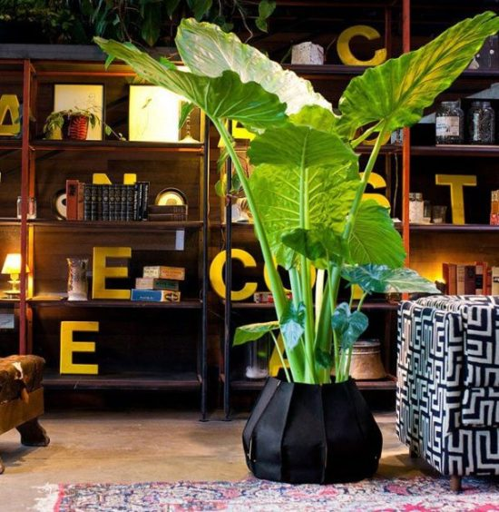 house plants online Colocasia gigantea