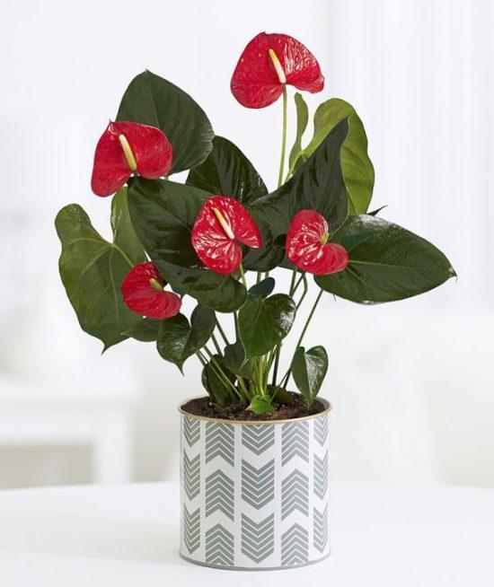 plant gift idea anthurium