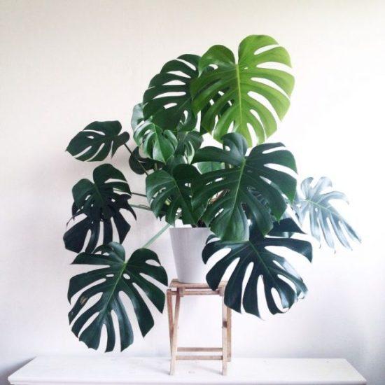 tropical plants Monstera deliciosa