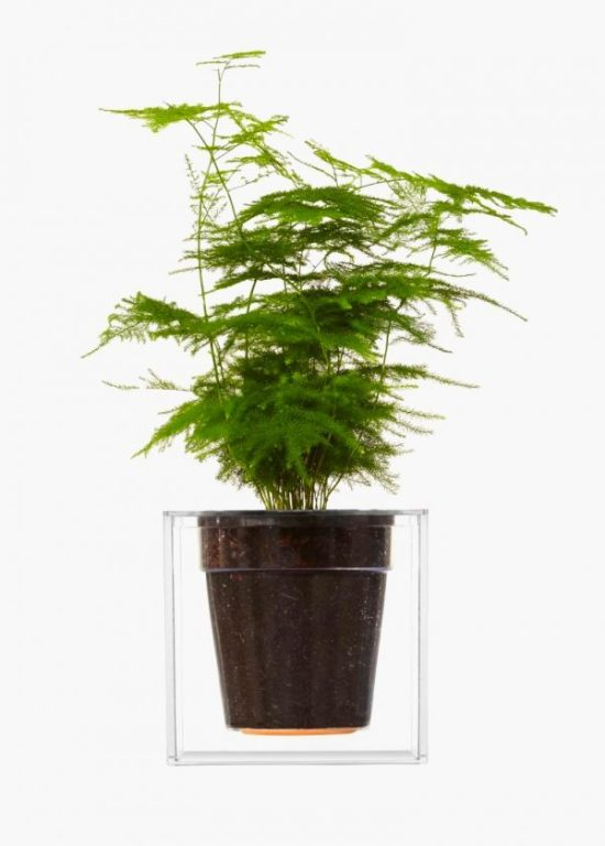 unique fern plant Asparagus setaceus