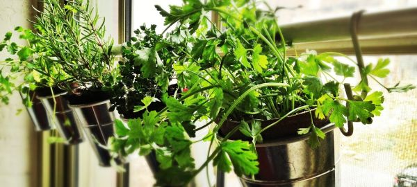 coltivazione di erbe aromatiche in barattoli appesi