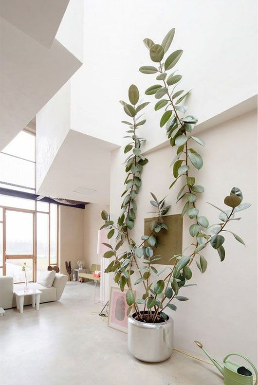Tall ceiling allow big plants