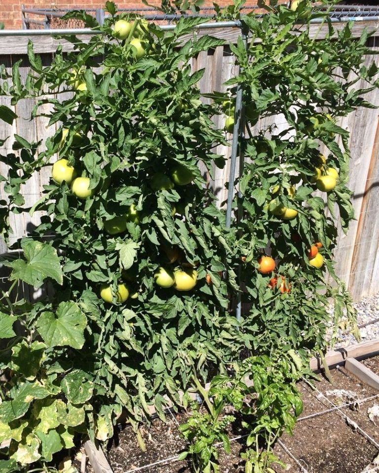Bountiful tomato plants can be grown from seed.