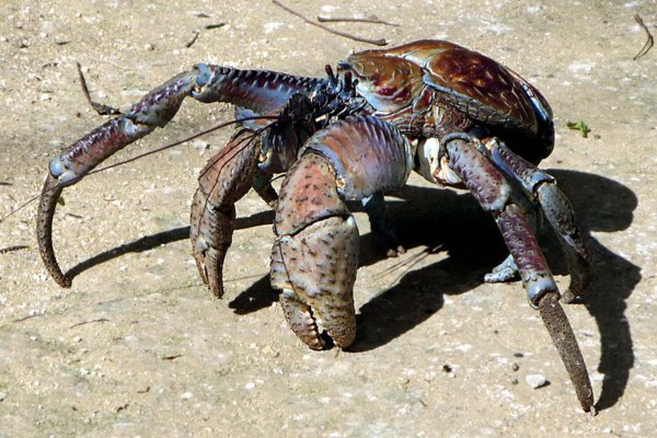 Coconut Crabs: Crustaceans on Steroids | HowStuffWorks