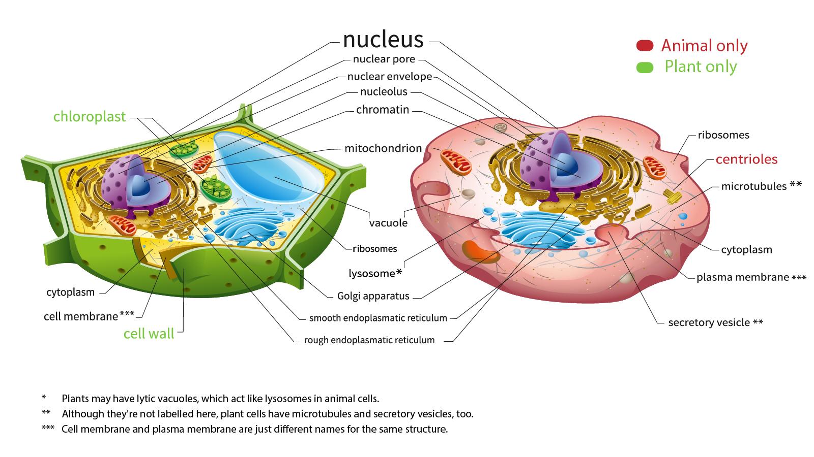 Human Cell Diagram Hd
