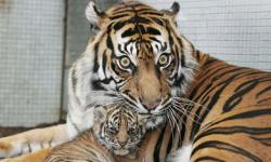 Tiger Pictures Howstuffworks